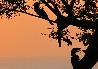 Trumpeter Hornbills feeding in the tree at the lodge