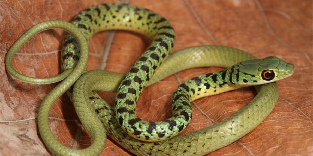 Snakes on Inhaca Island